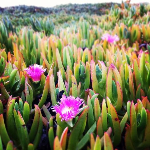 Beach Dune Flowers